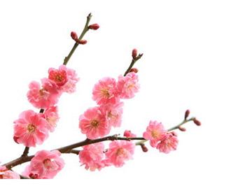 和風といえば花、そしてお正月・1月の花といえば梅