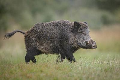 年賀状フリーイラスト猪 2019年は無料素材を使い倒そう!
